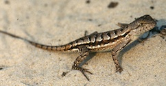 A Lizard. Photo- Scienceshot.