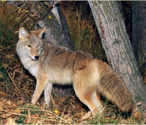 Photo of a real coyote from Britannica Advocacy for animals.