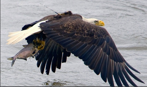An Eagle catching dinner on the fly. Photo Ted Ellis