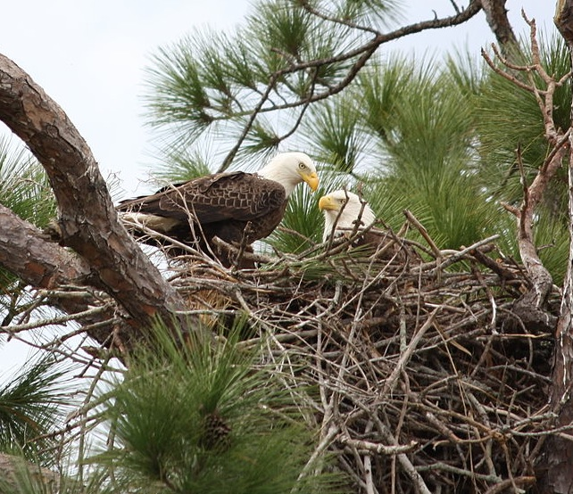 Bald Eagles find the tallest trees to make their nests. Photo Wikicommons.