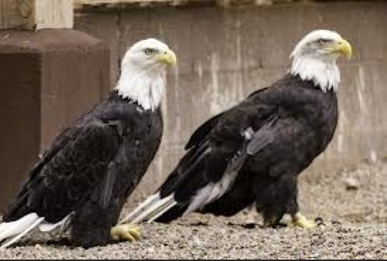 Protected eagles at the Zuni wildlife sanctuary. Photograph by Joseph Zummo.