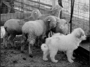 Little guardian-in-training. Rearing this Great Pyrenees pup with sheep creates a bond that will be important in determining the dog's future success as a protector.Photo- nal.usda.gov