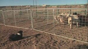 Navajo Technical University Veterinary Teaching Hospital offered a free class on training and using dogs to herd sheep. Kob News