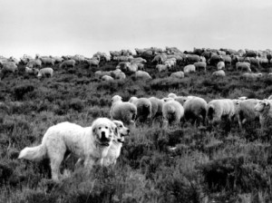 To protect large numbers of sheep on open rangeland or pastures, more than one dog may be required. These two Great Pyrenees guard a large rangeland flock. nal.usda.gov