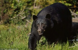 Residents in the Yosemite Park area are and being urged to be on the lookout for the bear (not pictured) - -tiff