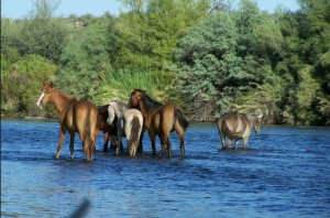 Wild horses of Salt River out for a swim. Photo-protectmustangs.org