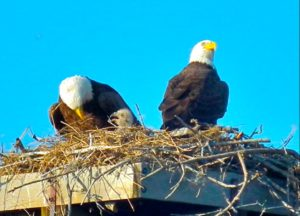 Bald Eagles with baby. Photo The U.S. Fish and Wildlife Service