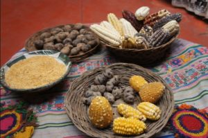Inca traditional foods of chunos (freeze dried potatoes) corn and quinoa. Photo- tastingtogether
