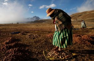Ramona Bustos walking barefoot on potatoes to create chuño, a freeze-dried Andean staple, near La Paz, Bolivia, in 2013. Credit Juan Karita