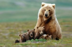 Grizzly-mom-and-cubs