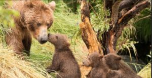 Grizzly family in yellowstone-
